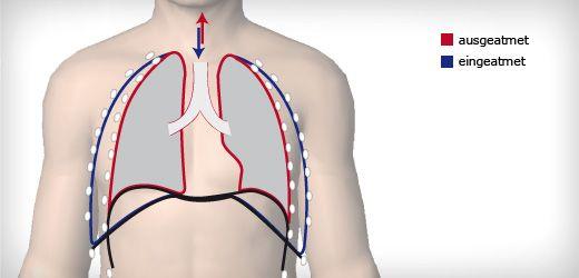 Einatmen: Das Zwerchfell (schwarz, unten) flacht ab und macht der Lunge Platz