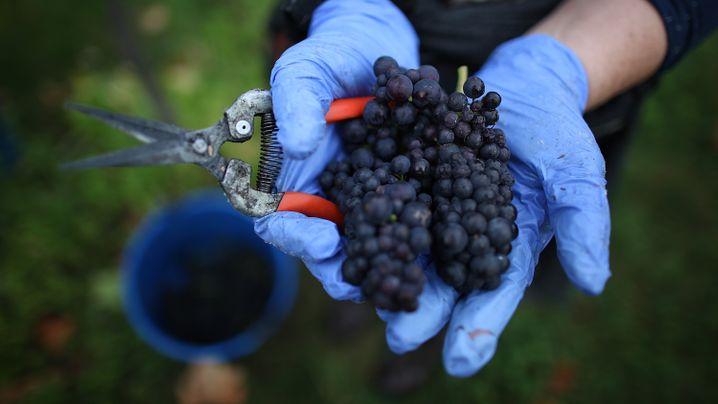 Wein und Klimawandel: Alkoholischer Indikator