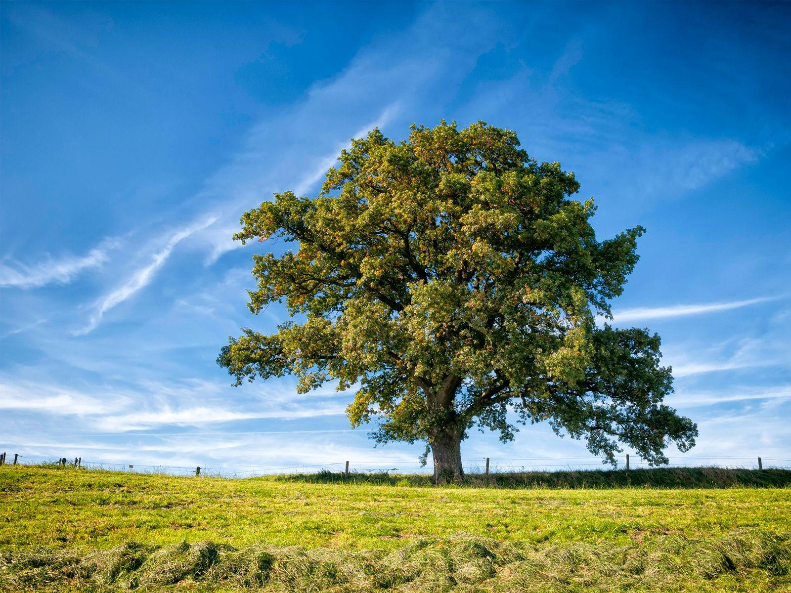 Eiche (Quercus spec.), Baum auf einem Feld unter blauem Himmel, Deutschland, Bayern oak (Quercus spec.), tree in a field