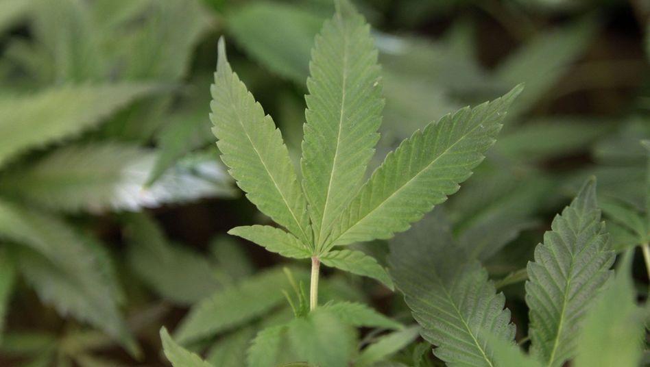 Hanfpflanzen: Hilfe für Krebs- und Schmerzpatienten?