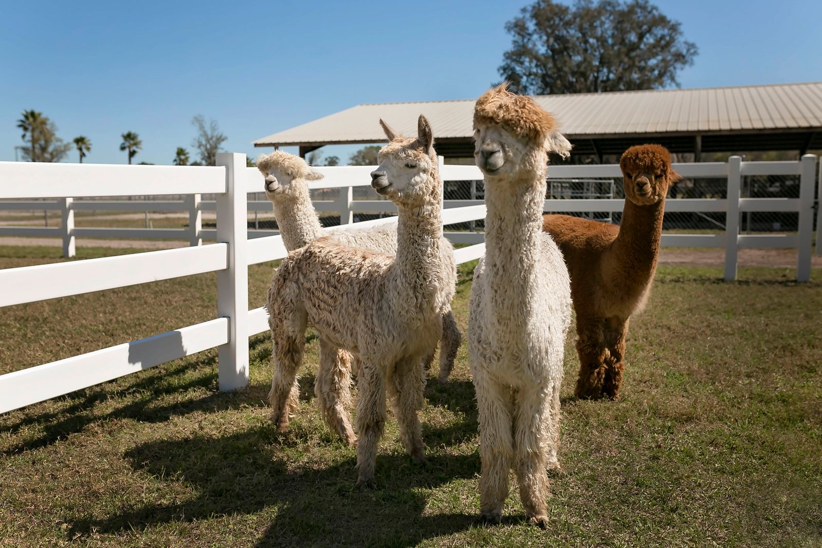 Four alpacas standing in white fenced in area on alpaca farm United States, Florida, Tampa PUBLICATIONxINxGERxSUIxAUTxON