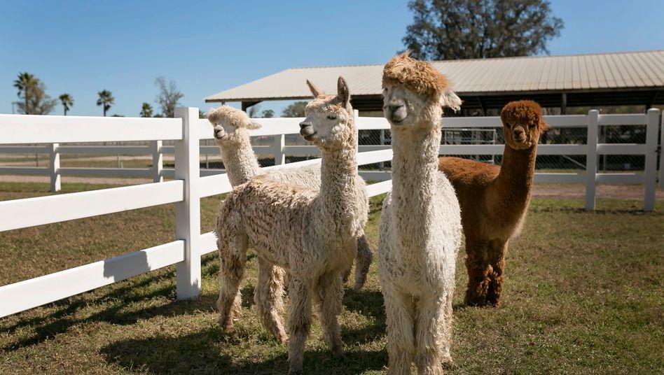 Auch aus der Familie der Kamelide: Alpakas in den USA (Symbolbild)