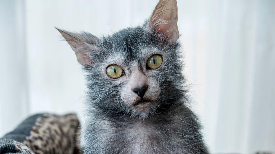 Studienobjekt Werwolf-Katze