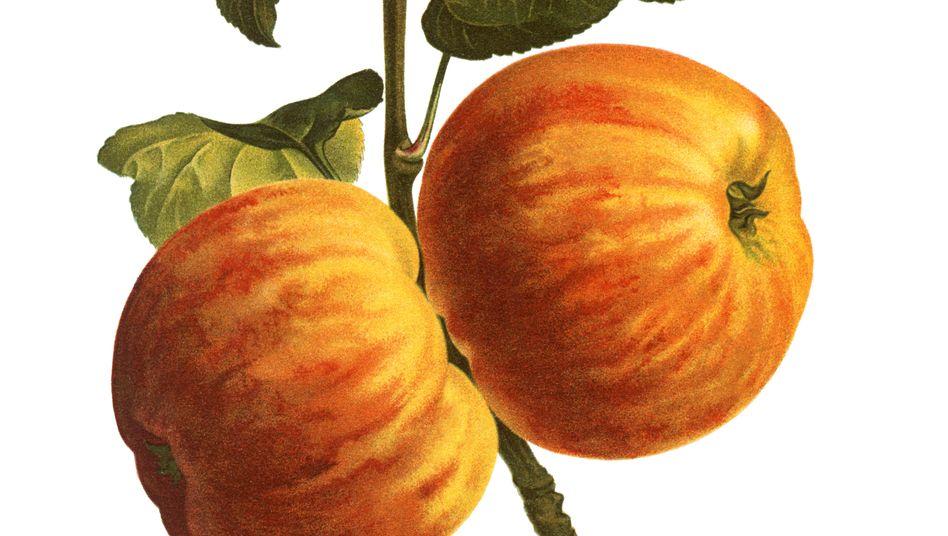 Alte Illustration eines Apfels