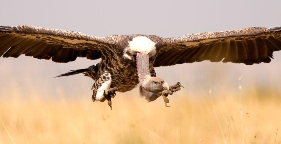 Geier in Kenia: Die Raubvögel jagen Adlern gern die Beute ab