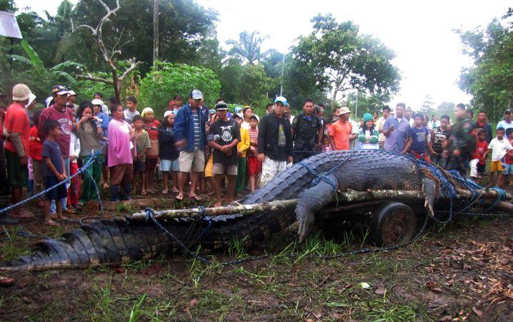 Nicht ganz so kleines Krokodil: Von Dorfbewohnern auf den Philippinen gefangen