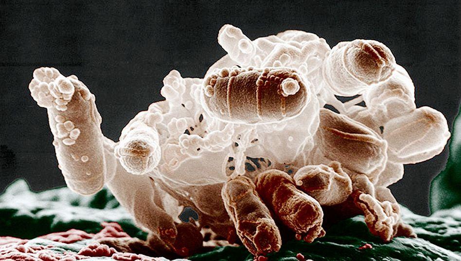 E.-coli-Bakterien: Manipulierte Version produziert Cannabis-Wirkstoff THC