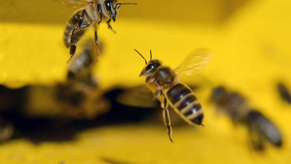 Bienen (Archivbild)