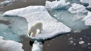 Russland zählt seine Eisbären
