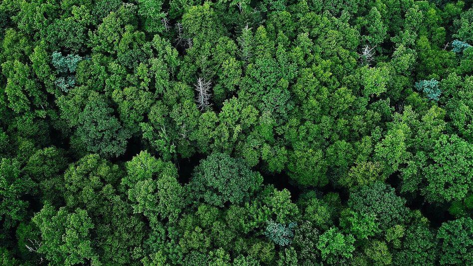 Biomasselieferant Wald:Kann er schnell genug nachwachsen?