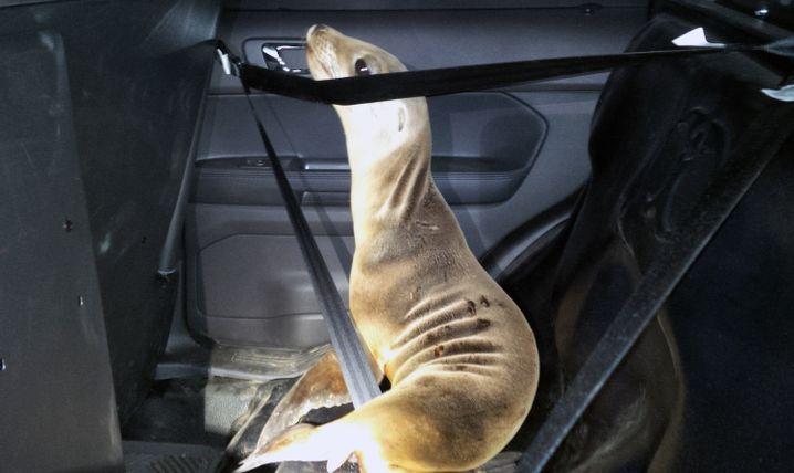 Seelöwenbaby in Streifenwagen: Sicher zurück zum Ozean