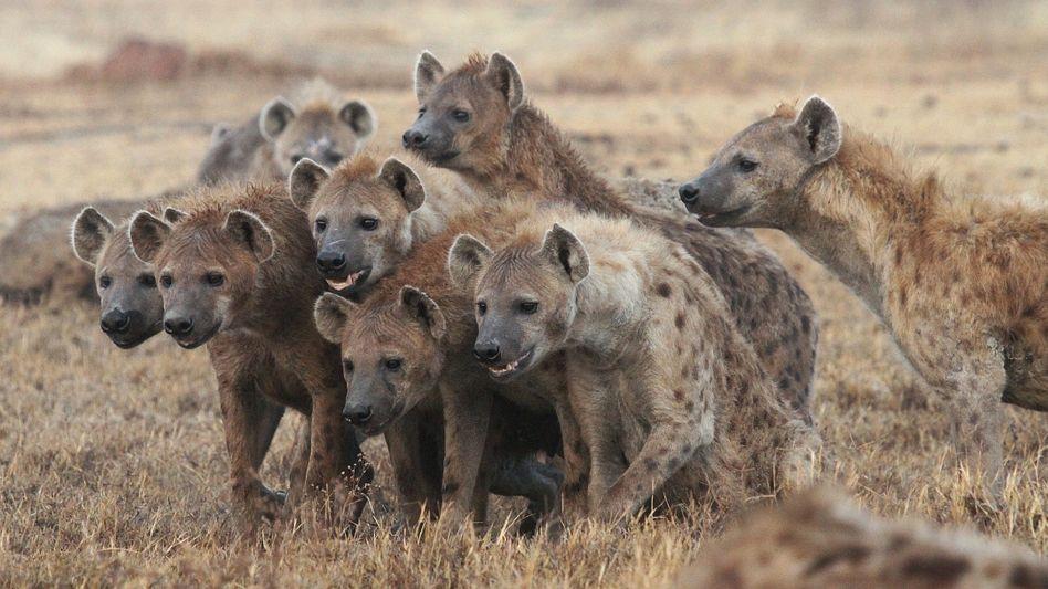 """Hyänentrupp im Ngorongoro-Krater in Tansania:""""Die schlagen sich die Bäuche voll mit Kadavern, die zum Himmel stinken"""""""