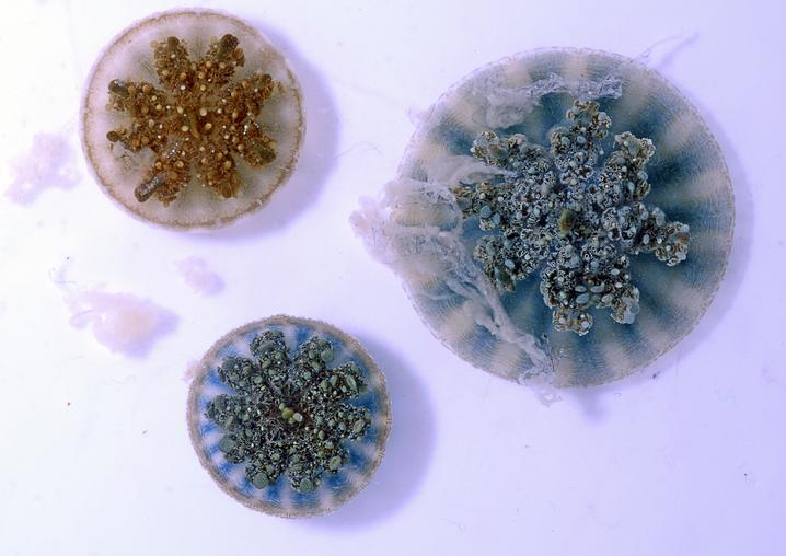 Drei Mangrovenquallen im Labor: Mini-Harpunen im Schleim