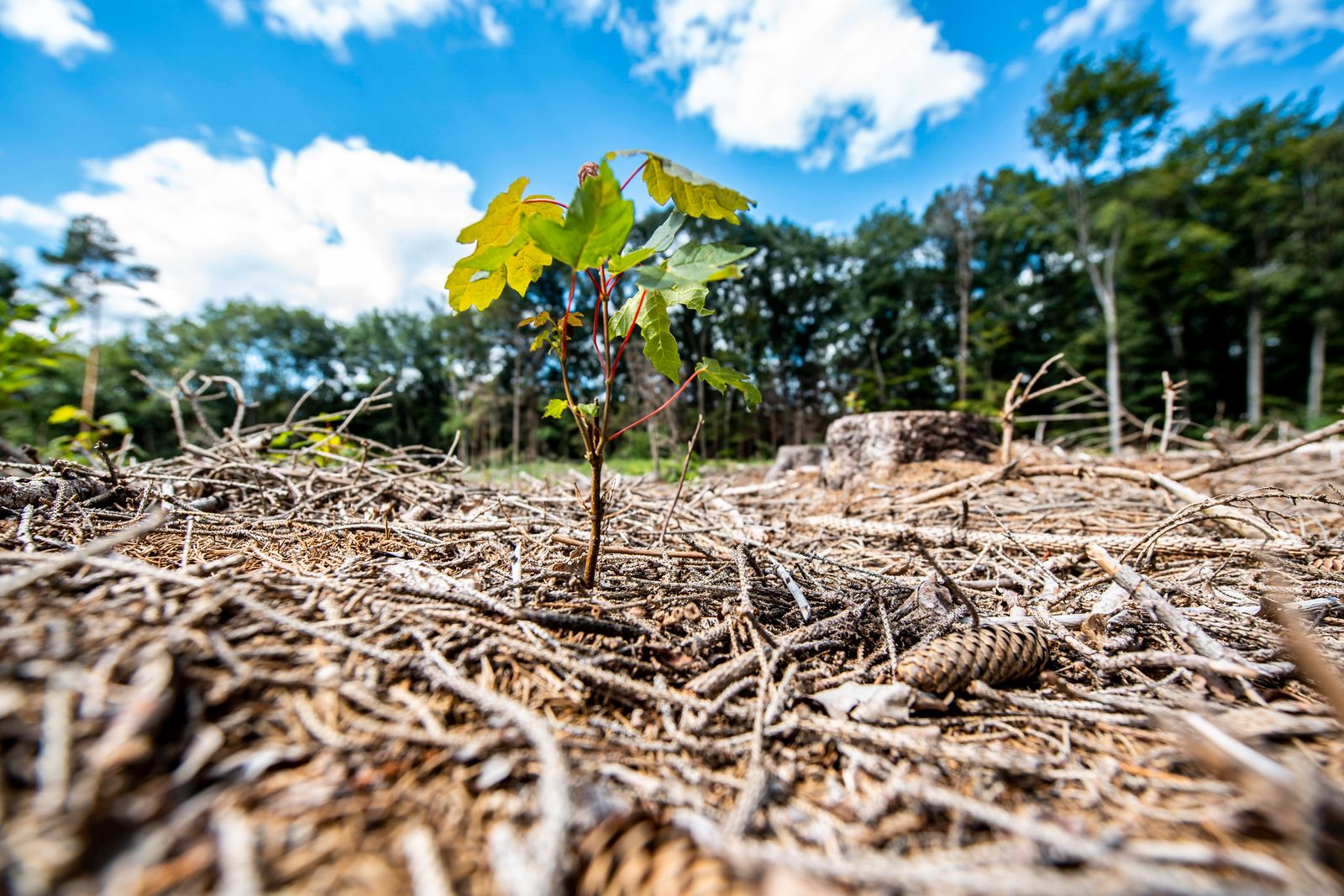 Beginn der Waldzustandserhebung 2020 Ein junger Baumtrieb bahnt sich ihren Weg aus dem verdorrten und mit Zweigen bedec