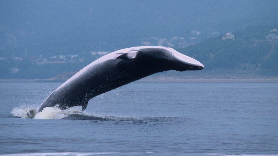 Alles andere als träge: Ein Zwergwal springt aus dem Wasser