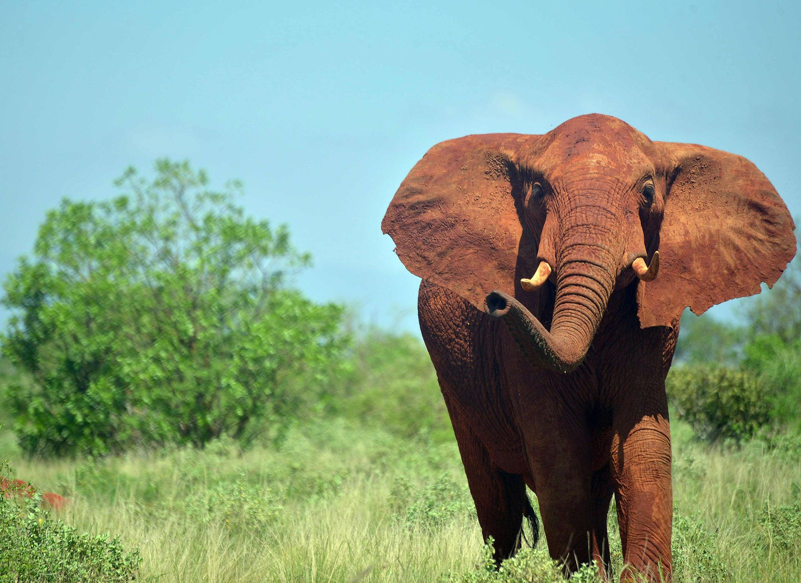 Elefanten/ Afrika