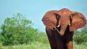 Dramatisches Elefantensterben in Afrika