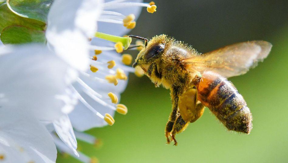 Biene im Anflug auf eine Süßkirschblüte