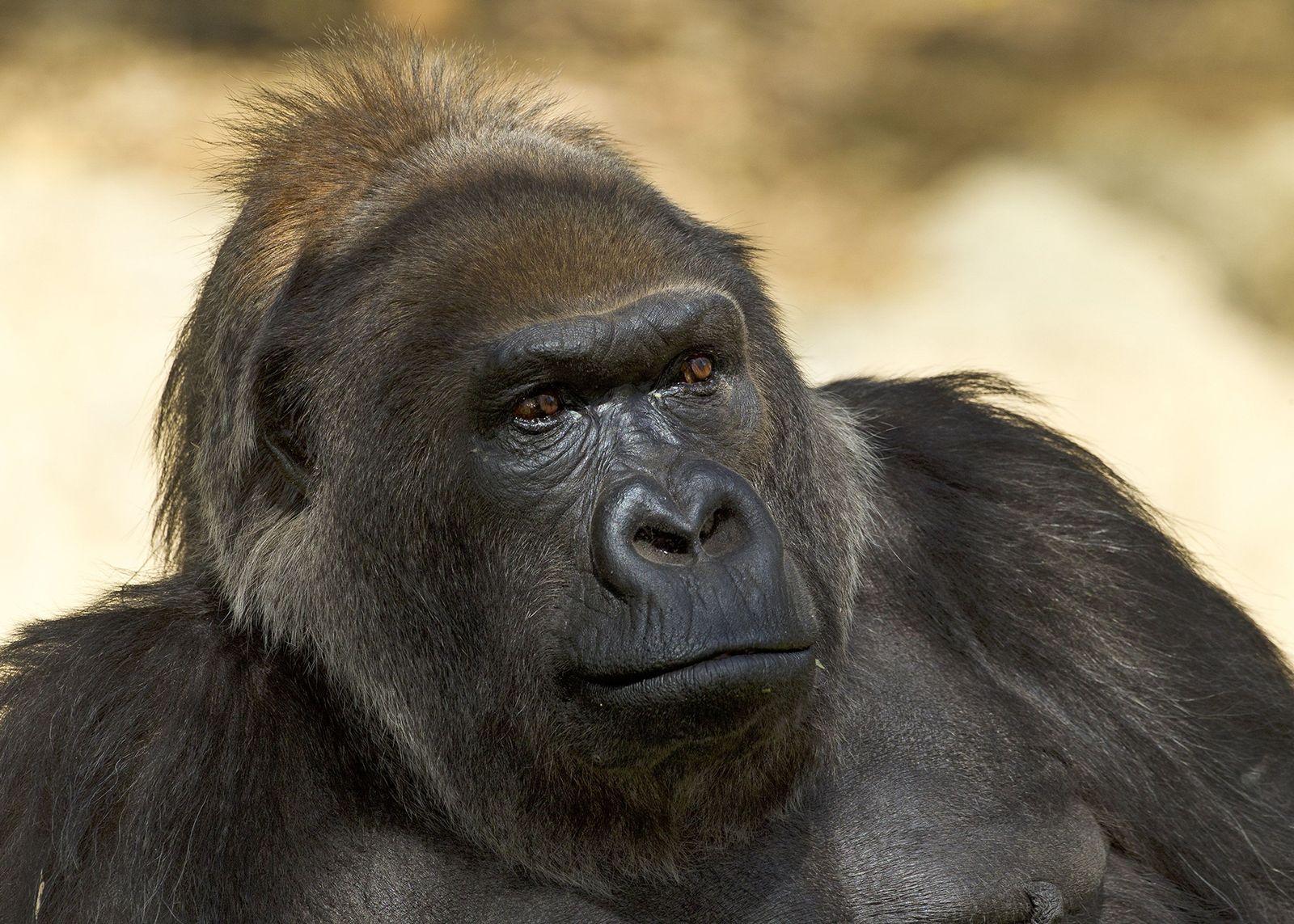 EINMALIGE VERWENDUNG Vila/ Gorilla/ San Diego