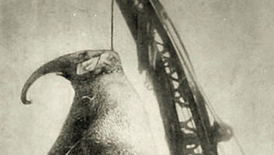 Gehängter Elefant Mary 1916