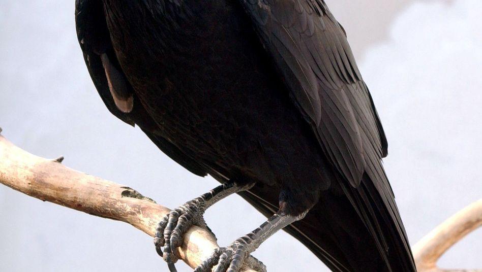 Vorurteile gegen Raben: Pechbringer, Todesvogel, schlechter Brutpfleger