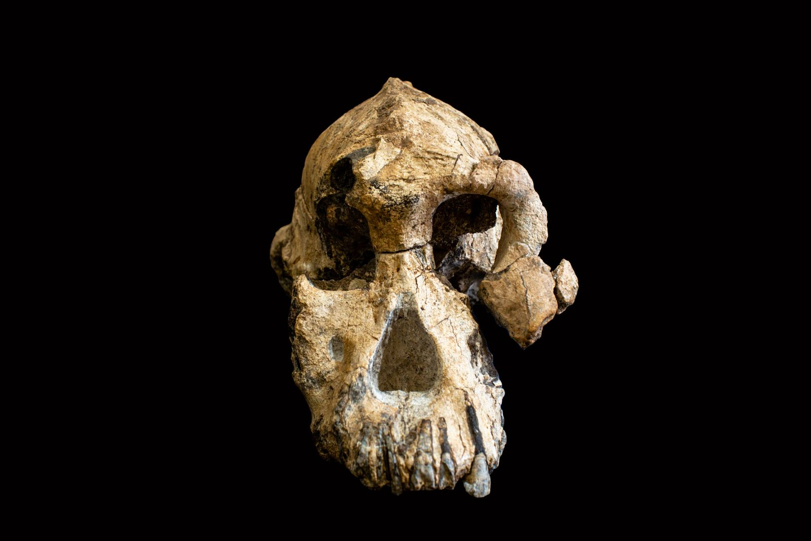 EINMALIGE VERWENDUNG Aethiopien/ Schaedel/ Australopithecus