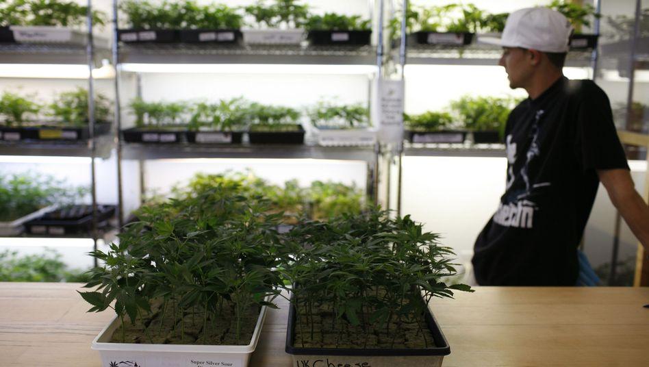 Marihuana-Pflanzen in Kalifornien: Debatte um Legalisierung in den USA