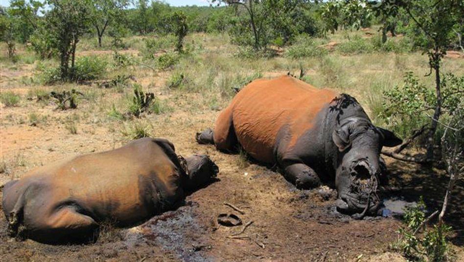 Südafrika: Von Wilderern getötete Nashörner liegen in der Savanne