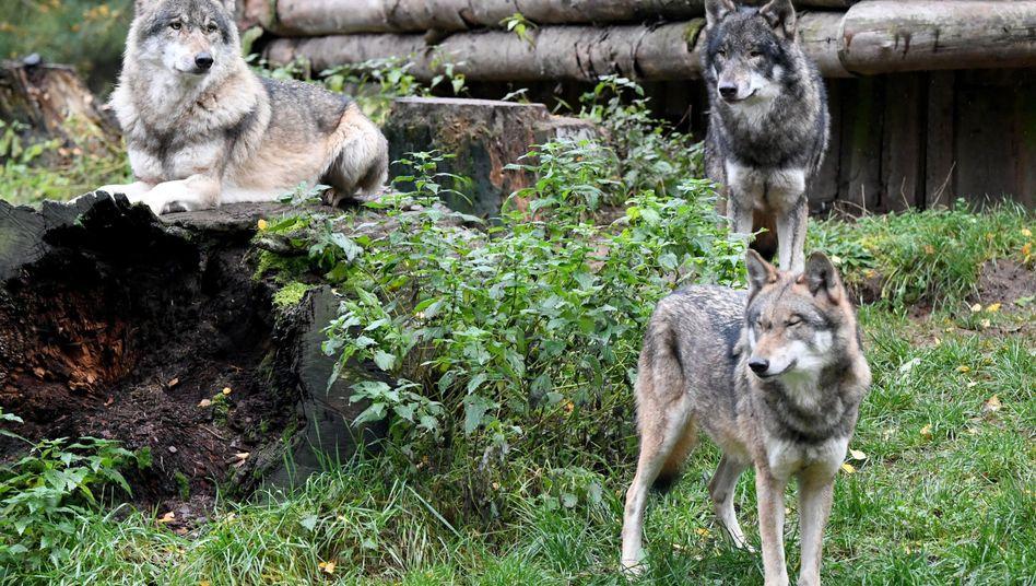 Wölfe im Wildpark (Symbolbild)
