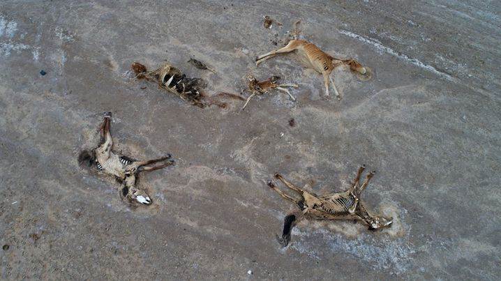 Carcasses of animals that have died as a result of a severe drought in Kazakhstan this summer.