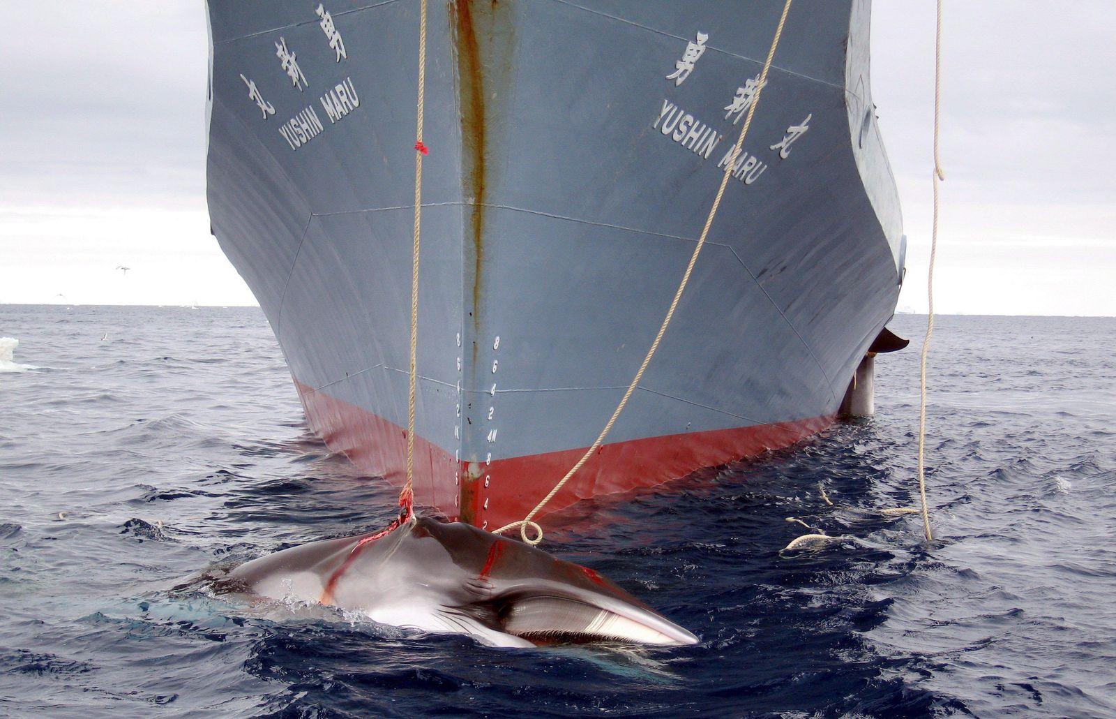 EINMALIGE VERWENDUNG Japanischer Walfänger