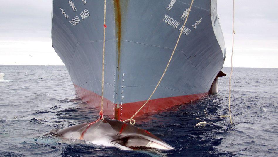 Harpunierter Wal an japanischem Walfänger