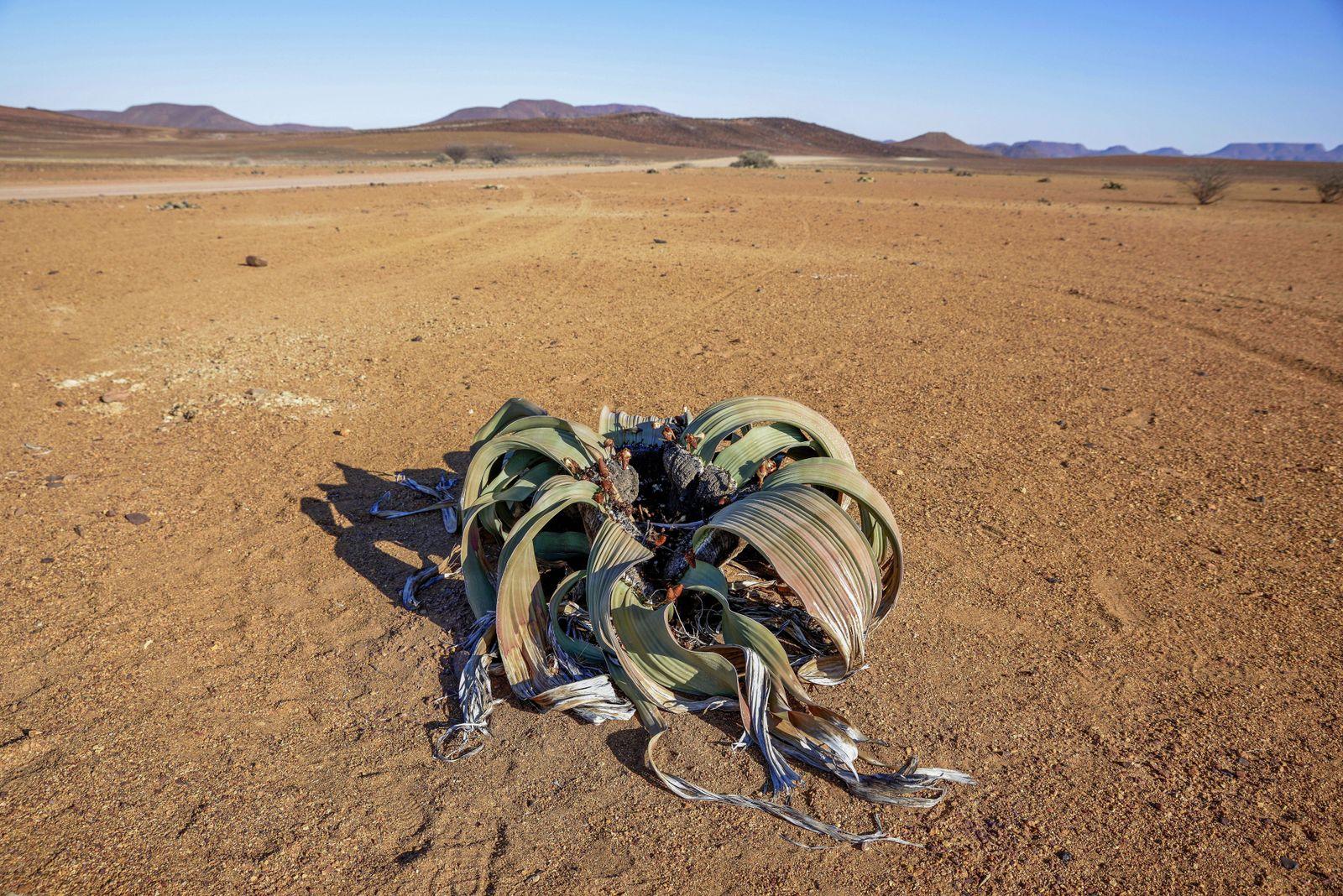 Welwitschie Welwitschia mirabilis in W¸stenl?andschaft Brandberg Erongo Region Namibia Afrika