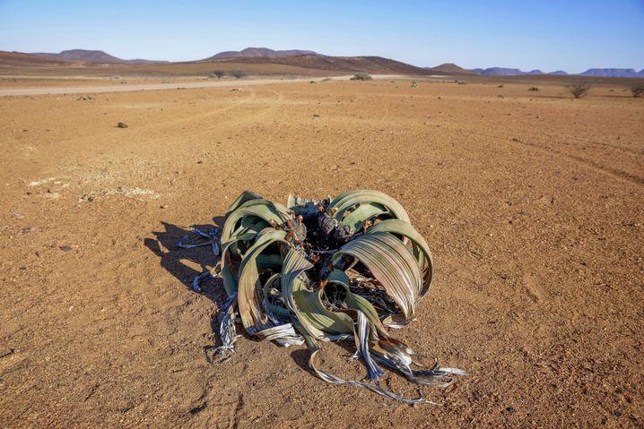 Sieht etwas lädiert aus, aber das muss so: Eine Welwitschie in Namibia