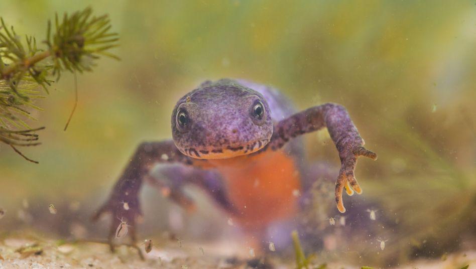 Bergmolch: Laut Schätzungen gibt es weltweit mehr als acht Millionen Arten