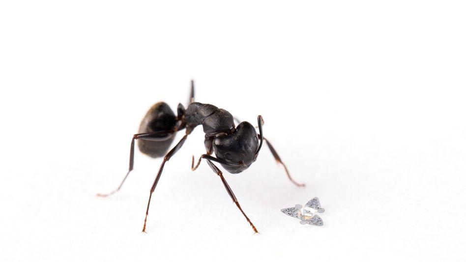 Kleinstes Flugobjekt der Welt. Und zum Größenvergleich eine Ameise