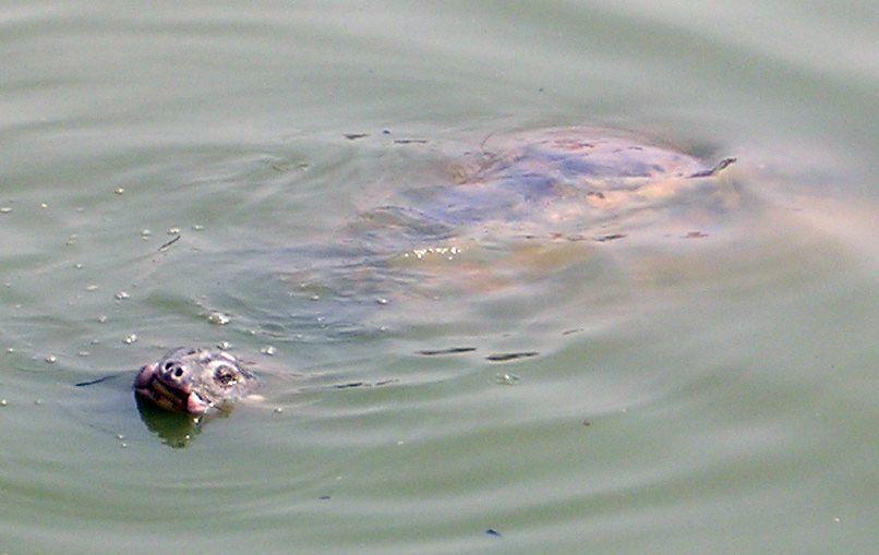 Riesenweichschildkröte