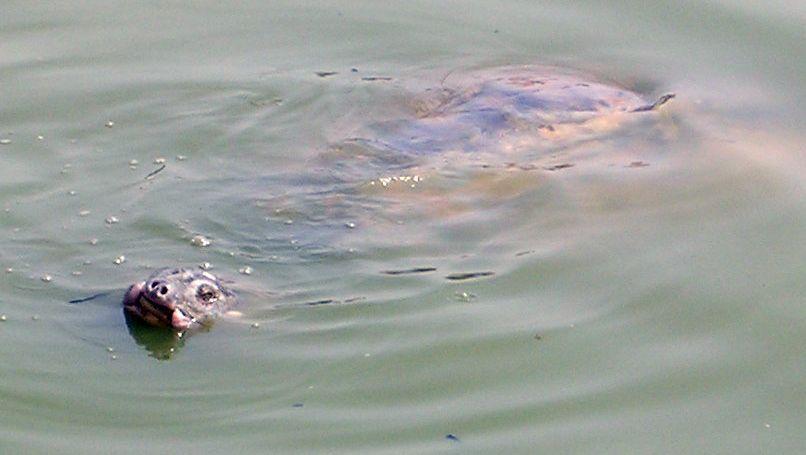 Jangtse-Riesenweichschildkröte: Nur noch vier Exemplare weltweit