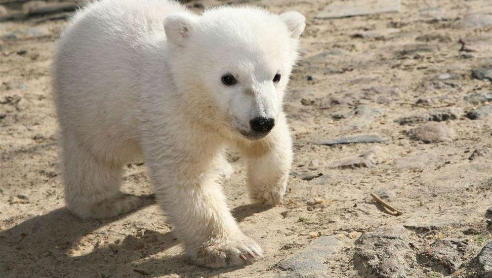 Knut: Rätselhafter Eisbärtod