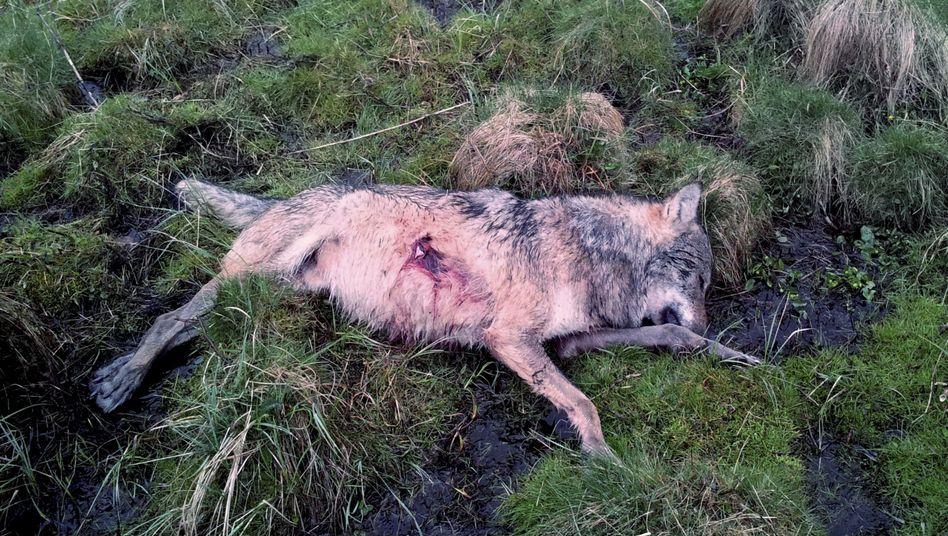 Erschossener Wolf (Archivbild)