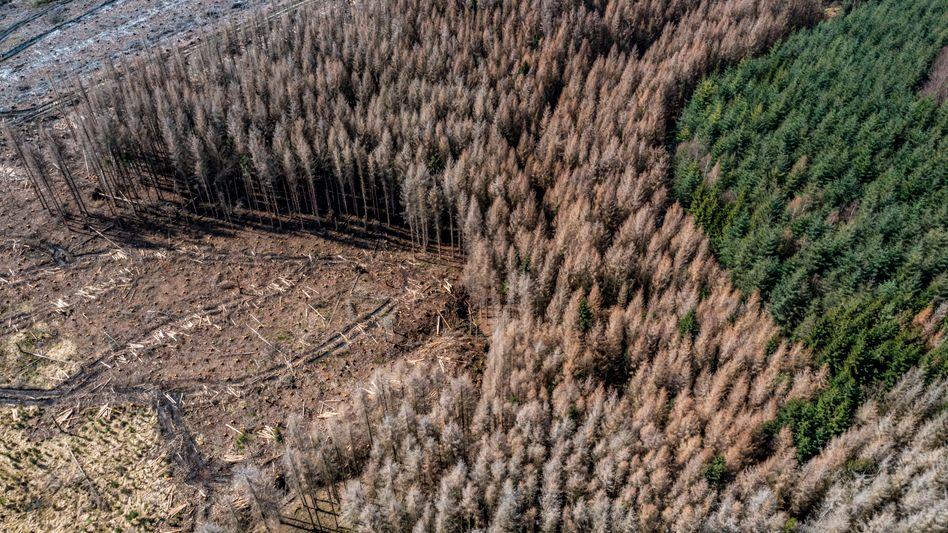 In diesem Waldgebiet in Nordrhein-Westfalen hat der Borkenkäfer große Fichten-Areale zerstört.