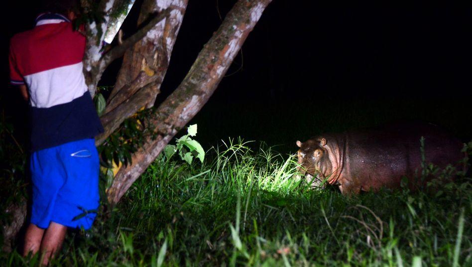 Wildes Nilpferd in der Nähe des ehemaligen Privatzoos von Escobar