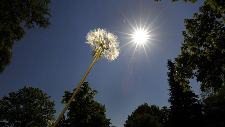Pusteblume im Sonnenschein: Nicht nur für Pflanzen wichtig - auch für Menschen ist die Sonne ein wichtiger Energiespender