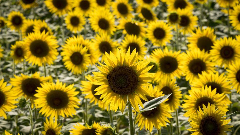 Sonnenblumenfeld (Symbolbild)