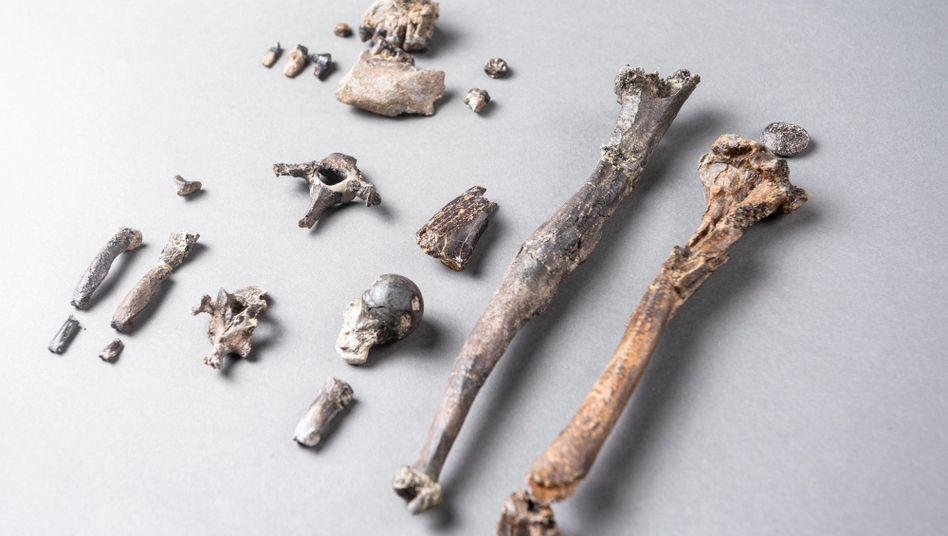 Die 21 Knochen des Teilskeletts eines männlichen Danuvius guggenmosi