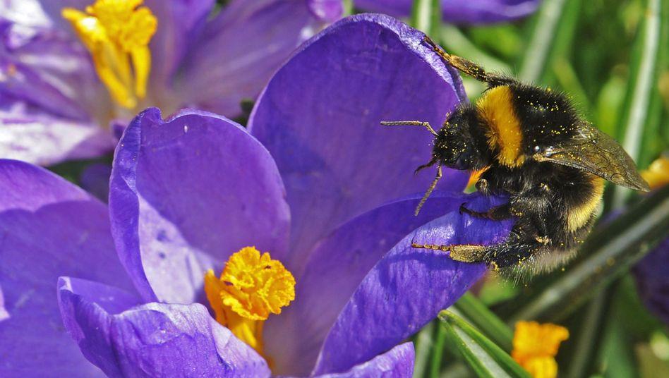 Hummel sammelt Pollen (im März 2012): Gefahr durch Pestizide