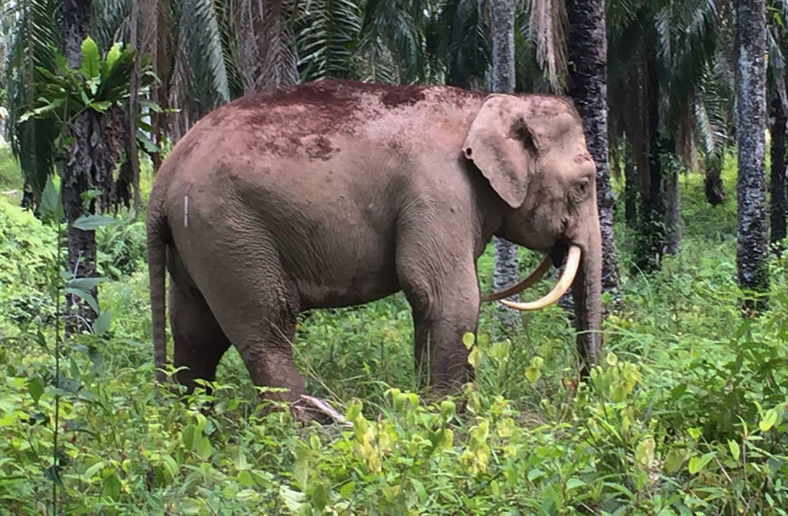 EINMALIGE VERWENDUNG Säbelzahn-Elefant/ Entdeckung/ Malaysia