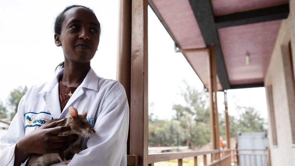 Die Ratten von Apopo arbeiten nur jeweils eine halbe Stunde am Stück. Danach werden sie von Mitarbeiterinnen der NGO zurück in ihr Gehege getragen