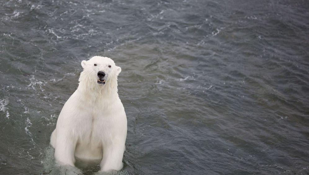 Zählung in der Arktis: Ein Eisbär, zwei Eisbären...