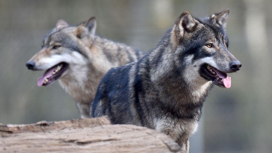Wolf im Wildpark Eekholt (Schleswig-Holstein)